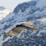 Gypaète barbu en vol. (PNV ZP) | La Clittaz, Tignes.